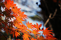 picture of colorful maple leaves