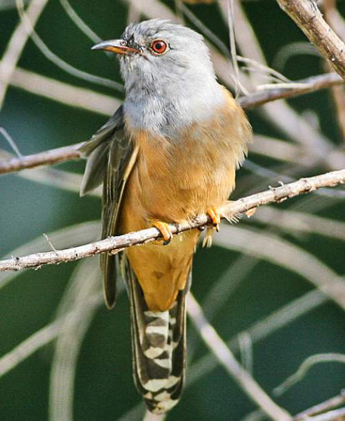 Birds of India - Photo of Plaintive cuckoo - Cacomantis merulinus