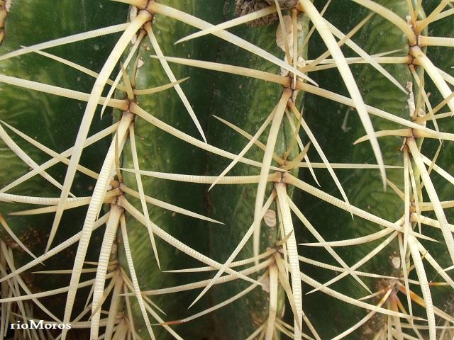 espinas de bola de oro o asiento de suegra Echinocactus grussonii