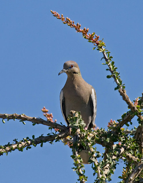 White-winged Dove in Ocotillo