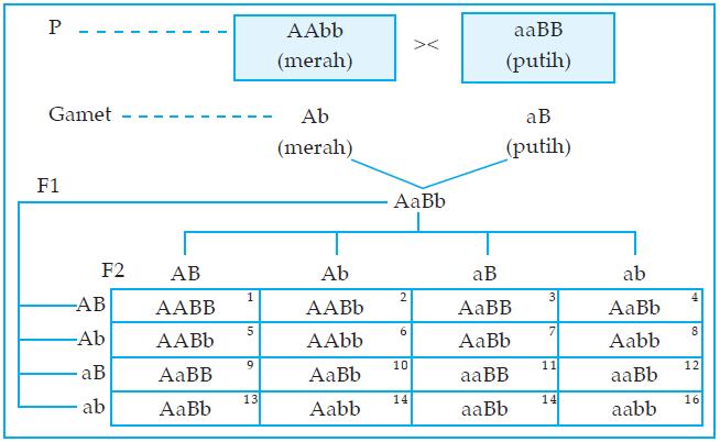 Penyimpangan semu hukum mendel plengdut individu genotipe f2 mempunyai a ab antosianin dalam lingkungan basa warna bunganya ungu sebanyak 9 kombinasi b a antosianin dalam lingkungan ccuart Choice Image