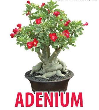 Tukang Taman Surabaya Bunga Adenium