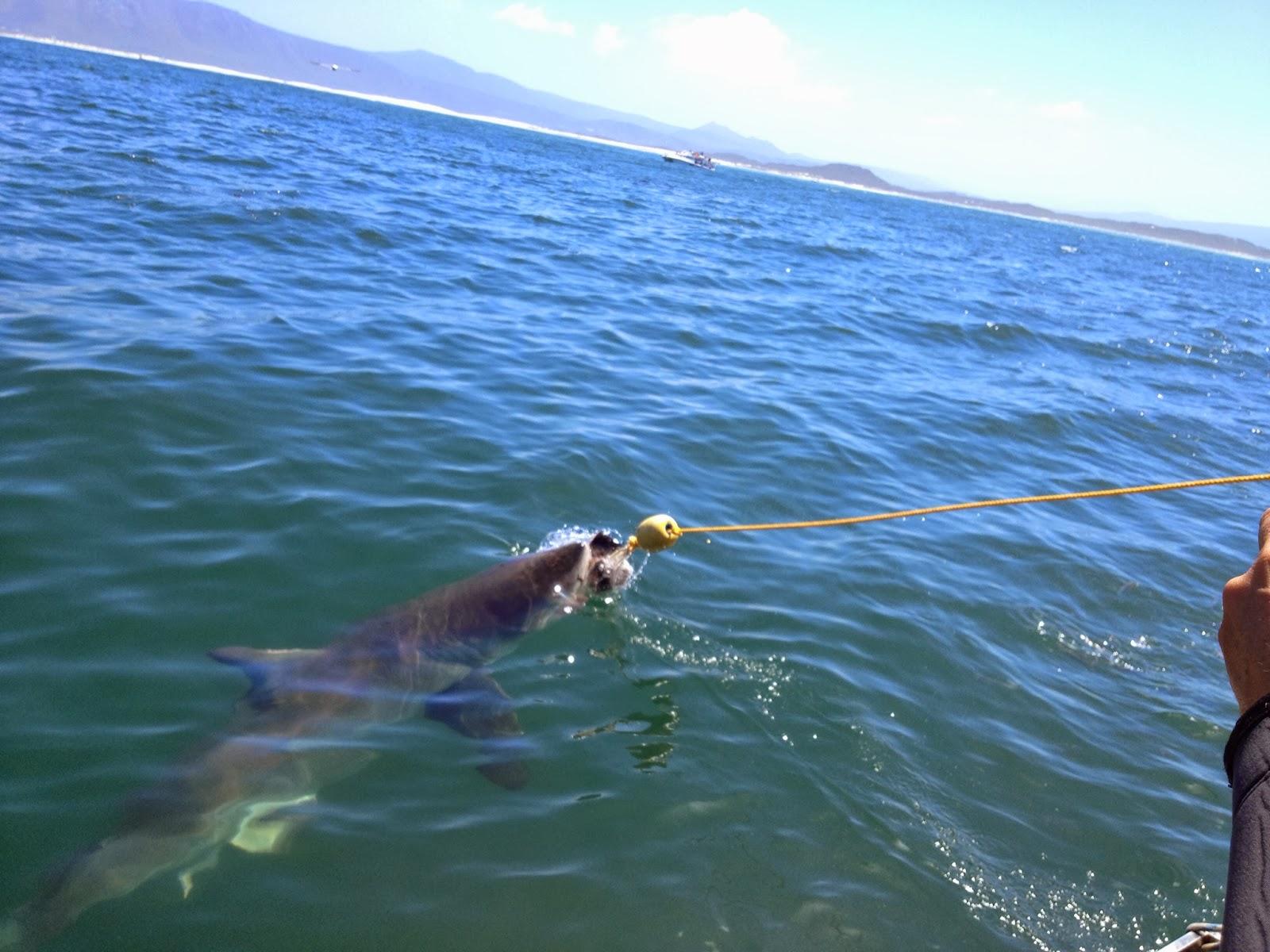 Kleinbaai - A shark taking the bait