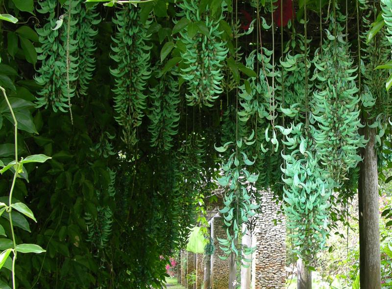 How to grow the jade vine the garden of eaden - Plantas trepadoras para muros ...