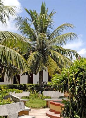 El coco, uno de los principales cultivos de Baracoa, adorna patios y portales de la ciudad...