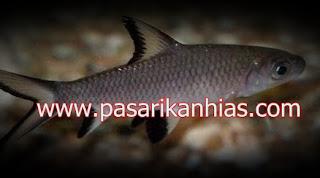 Ikan hias air tawar hiu bala-bala