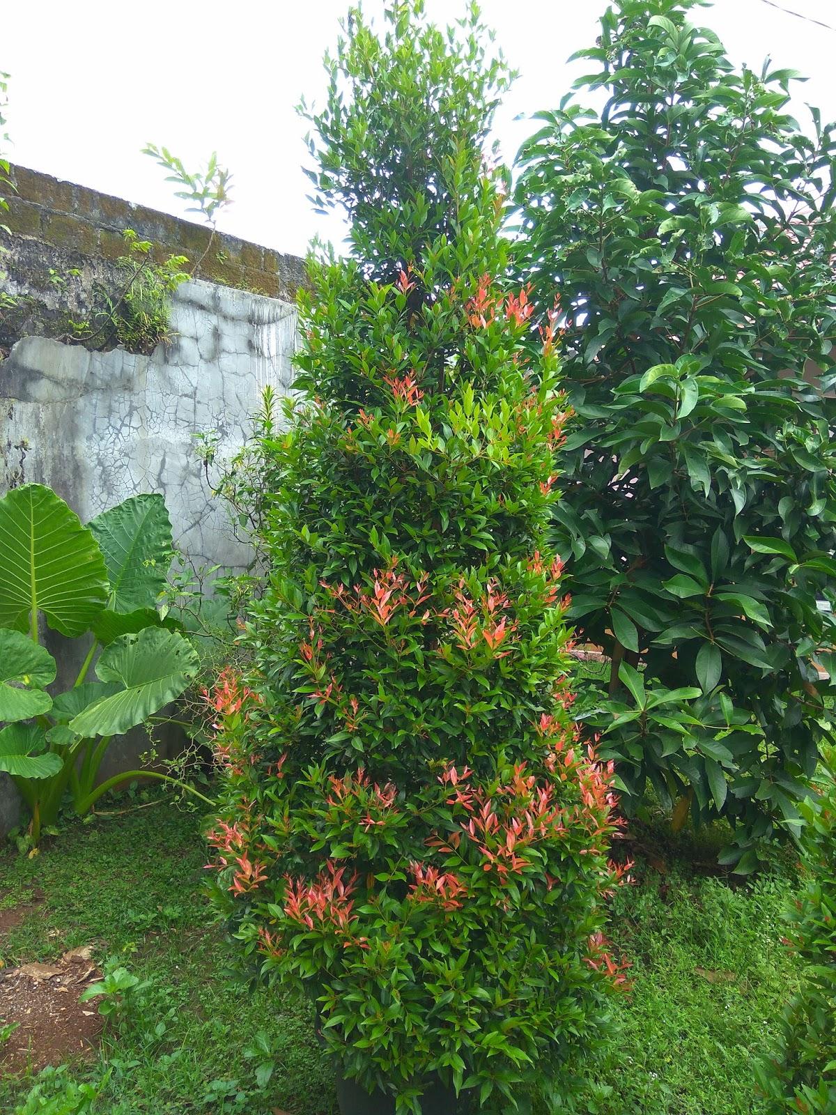 SAUNG FLORA: Jual pohon pucuk merah