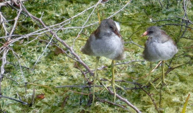 Two juvenile moorhens at Long Key Natural Area and Nature Center in Davie, FL