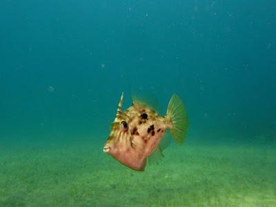Brauner Feilenfisch - Stephanolepis hispidus