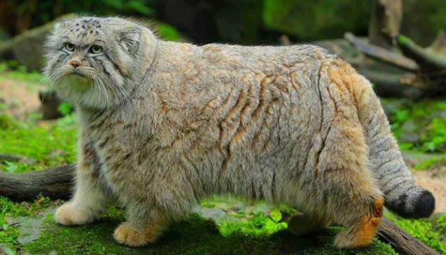 Berikut Lima Jenis Kucing Paling Langka Yang Sulit Ditemukan Di Seluruh Dunia
