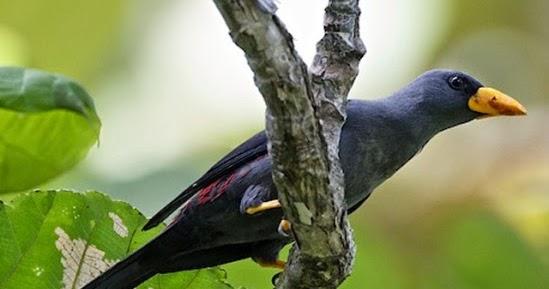 Daftar Harga Burung Rio