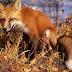 Ενημέρωση των κυνηγών για τους αεροεμβολιασμούς κατά του ιού της λύσσας για τις αλεπούδες