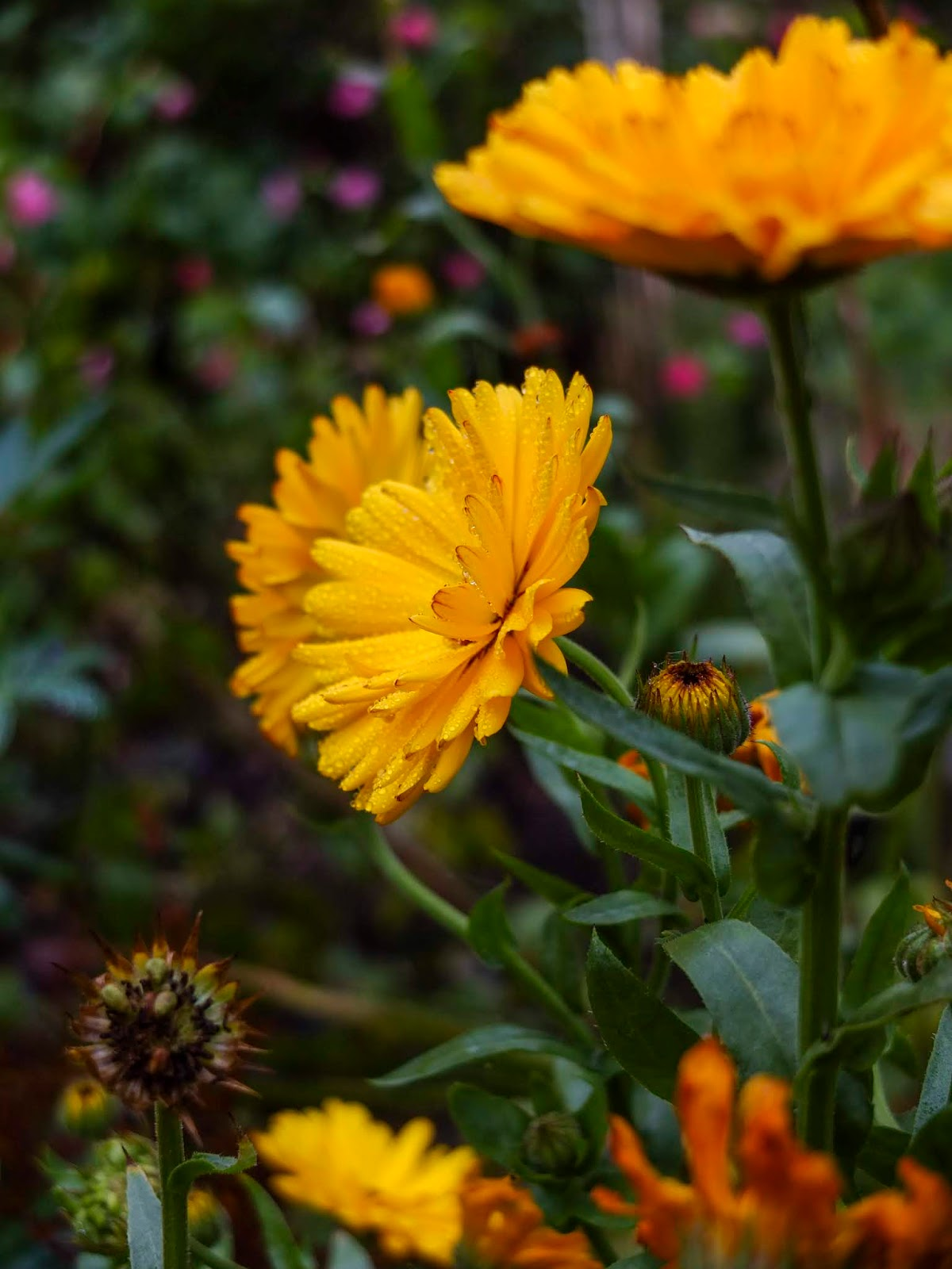 Dew on yellow Calendula flowers in a flower garden.