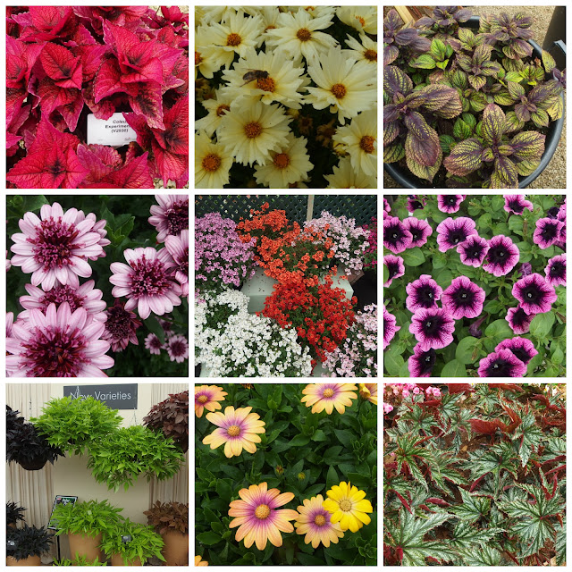 A selection of flowers and foliage: spot the coleus, coreopsis, osteospermum, diascia, petunia, ipomoea and begonias