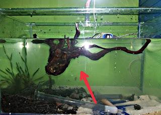 Cara Membuat Kayu Aquascape Tenggelam dengan Cepat