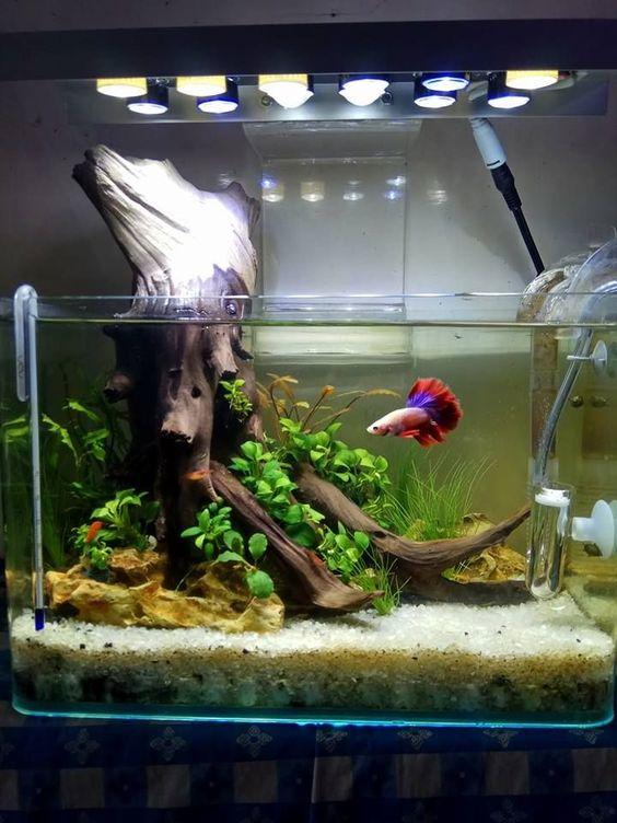 Bể thủy sinh dùng một góc lũa to đơn giản nuôi cá betta