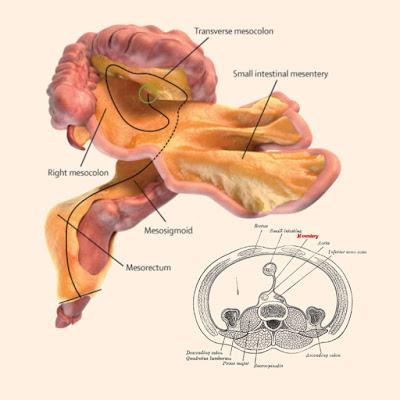 """Cientista identifica um """"novo"""" órgão do corpo humano"""