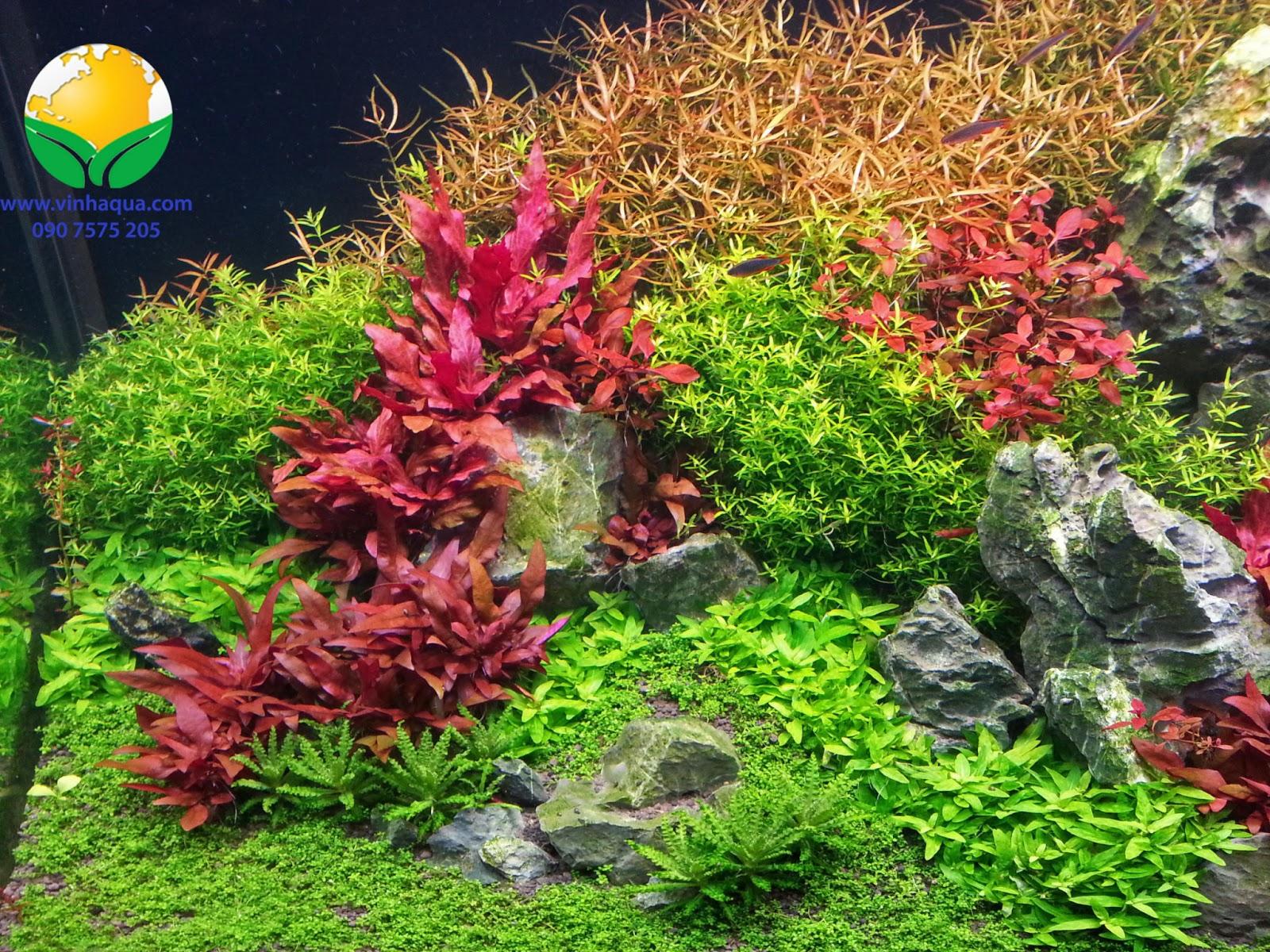 Cây huyết tam lan rất được ưa chuộng trong bể thủy sinh