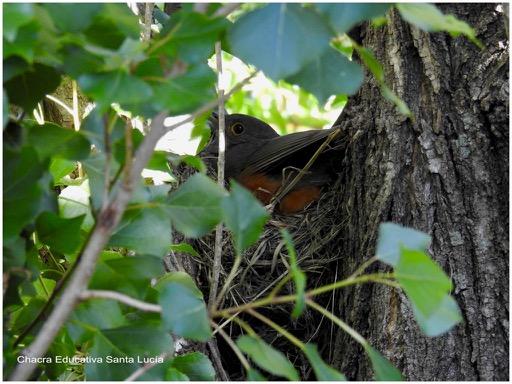 Zorzal adulto en el nido - Chacra Educativa Santa Lucía