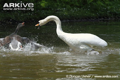 swan fight with goose