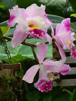 Light purple Cattleya orchid hybrid at the Allan Gardens Conservatory by garden muses-not another Toronto gardening blog