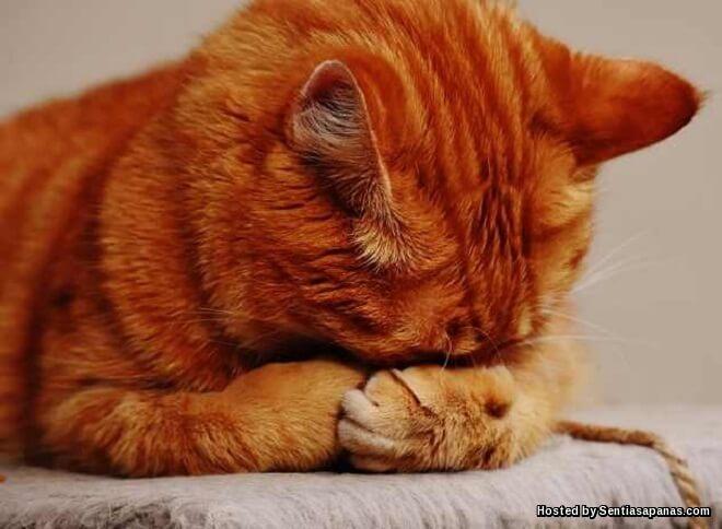 Kucing Stres Apabila Tetamu Bertandang Ke Rumah!