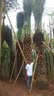 Jual pohon kurma azwa tangerang