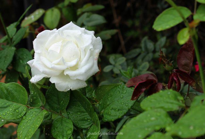 Las rosas que vuelven en otoño - Guia de jardin