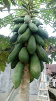 manfaat khasiat pohon pepaya dari daun sampai akar