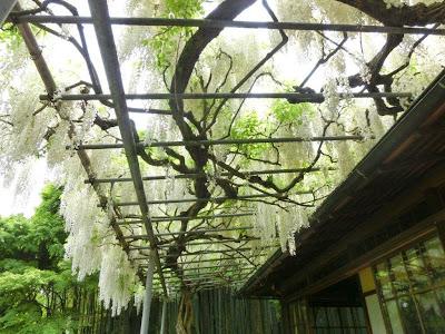 英勝寺のフジ