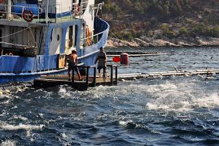 n kecepatan tinggi sehingga jenis ikan pelagis  Kabar Terbaru- BUDIDAYA IKAN TUNA