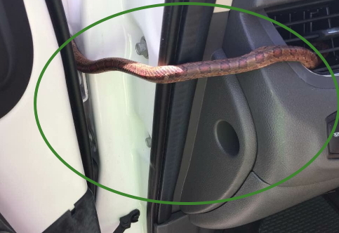 snake comes out car air vent florida
