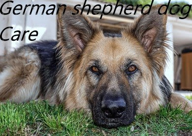 How to take care a German shepherd dog?