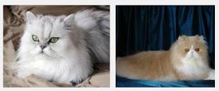 Tips Dan Cara Merawat Kucing Persia Yang Baik