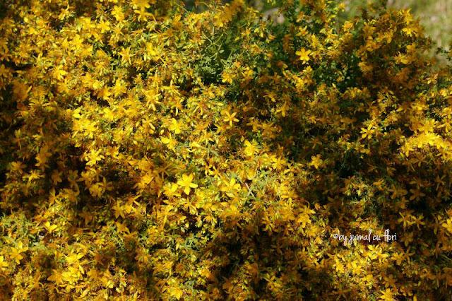 flori de sunatoare pentru ceai