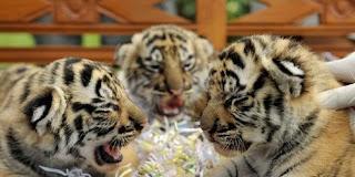 Tiga Bayi Kembar Harimau Benggala