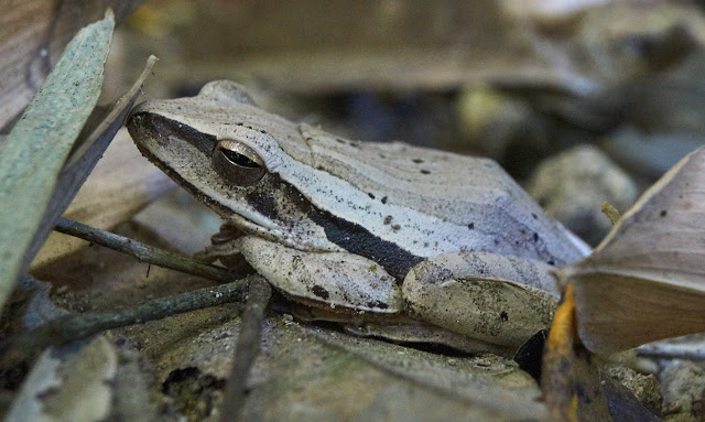 tropical rain forest, frog,Philippines