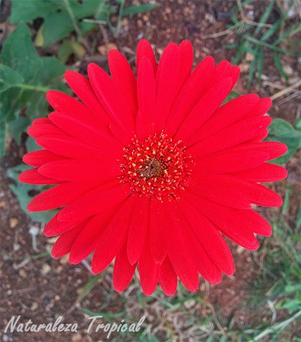Variedad roja de la flor Margarita Japonesa, Familia Asteraceae