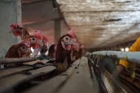 ternaka ayam petelur kandang rumahan