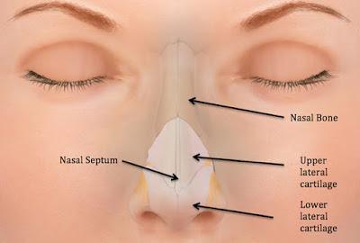tulang penyusun hidung