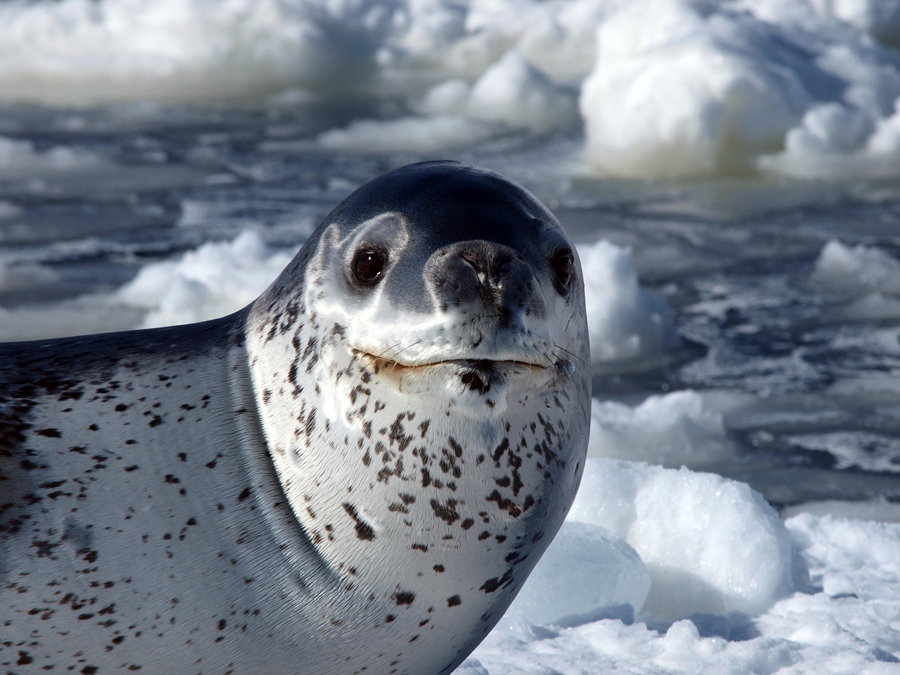 Leopard Seal | The Life of Animals