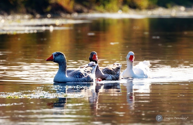 Domestic Geese on Neajlov River (Autumn)