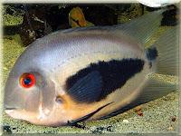 Uaru Cichlid Fish Pictures