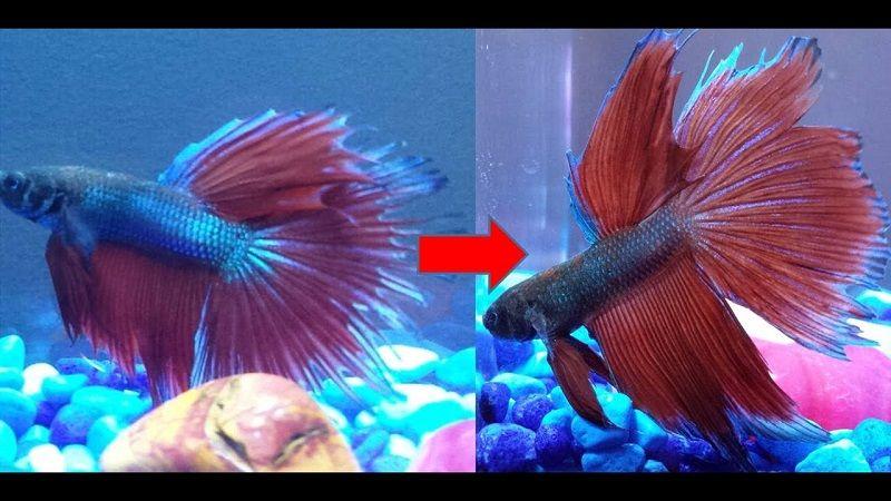 Image Betta Fish Fin Rot