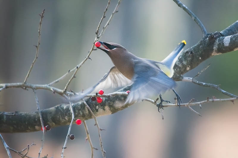 Cedar Waxwing eating winterberry