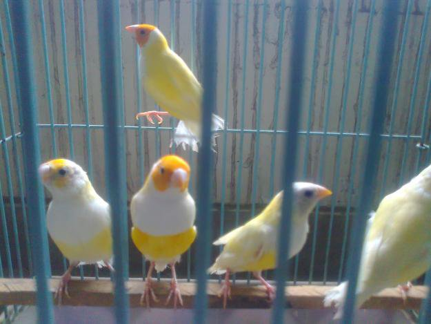 Gouldian Finch Breeder Pair for sale