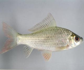 Ikan Nilem - cianjurupdate