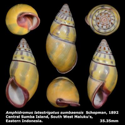 Amphidromus latestrigatus sumbaensis 35.35mm