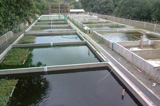 Pengelolaan Kolam Budidaya Untuk Indukan Ikan