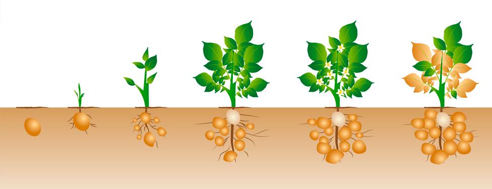 La huerta de mar a gonz lez como cultivar papas o patatas - Que plantar en el huerto ...